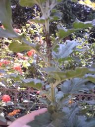 菊にアブラムシびっしり