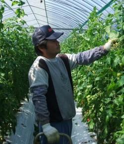 トマト農家の福田さん