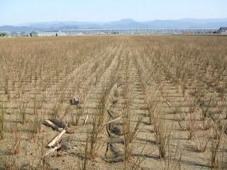 イグサの畑