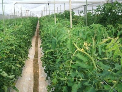 トマト今までにない力強い生育