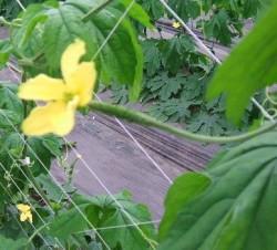 ゴーヤーの花