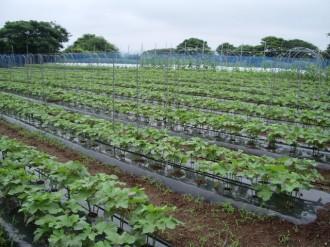 サンビオオクラ栽培1