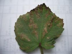 葉枯細菌病