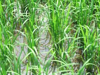 水稲増収試験5