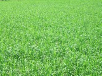 水稲増収試験6