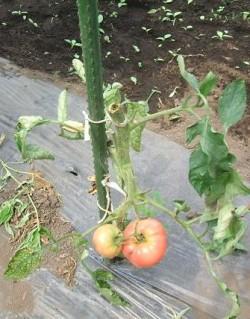 トマト悲惨な姿