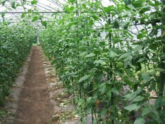 青枯病から回復したトマト