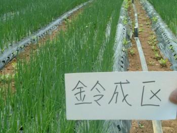 葉ねぎサンビオ栽培