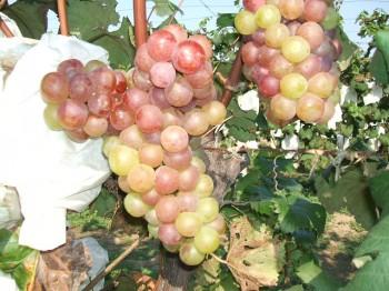 大粒のブドウ
