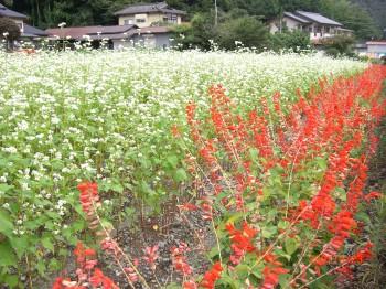 ソバの花とサルビア
