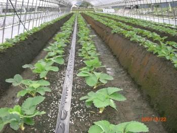 とちおとめサンビオ栽培