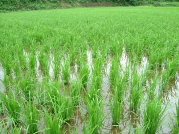 サンビオティック水稲