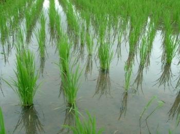 一般栽培水稲