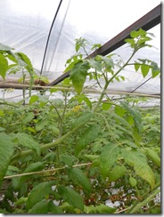 ネコブセンチュウミニトマト2