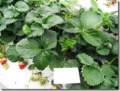 高設ベンチ栽培いちご