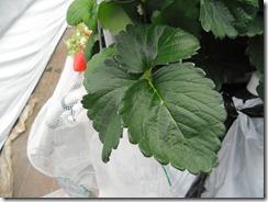 高設ベンチ栽培いちご2