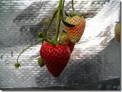高設ベンチ栽培いちご4