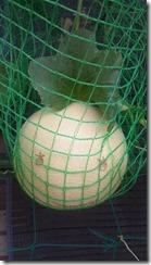 空中栽培メロン
