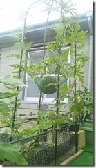 空中栽培スイカ