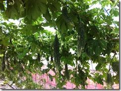 画像3)画像2の株に菌力アップ使用でネコブが止まって生育が順調な株