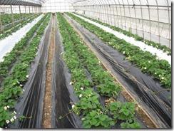 イチゴ栽培 対象区