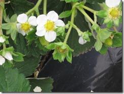 イチゴ栽培 サンビオ区3