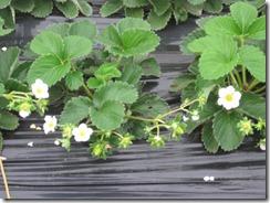 イチゴ栽培 サンビオ区2