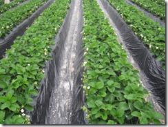 イチゴ栽培 サンビオ区