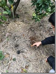 みかん畑の土