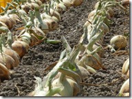 玉ねぎの収穫風景2