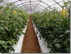 トマト着花促進事例1
