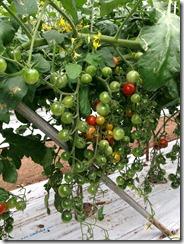 ミニトマト着花促進事例5
