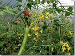 トマト着花促進事例2