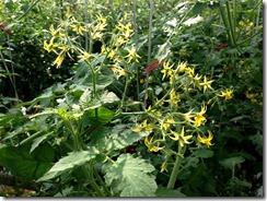 ミニトマト着花促進事例4