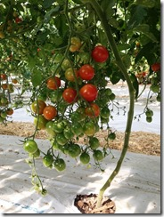 ミニトマト着花促進事例6