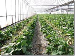 イチゴ栽培 一般区