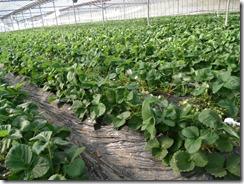 イチゴ栽培 コーソゴールド